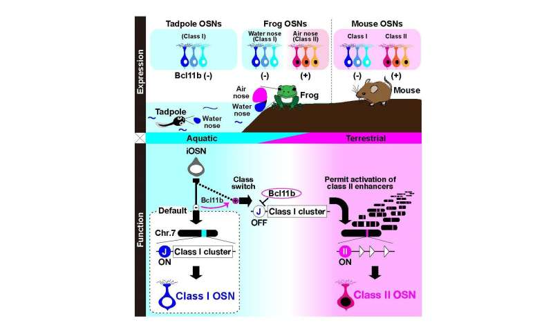Gene regulation behind the choice of the correct receptor for olfaction