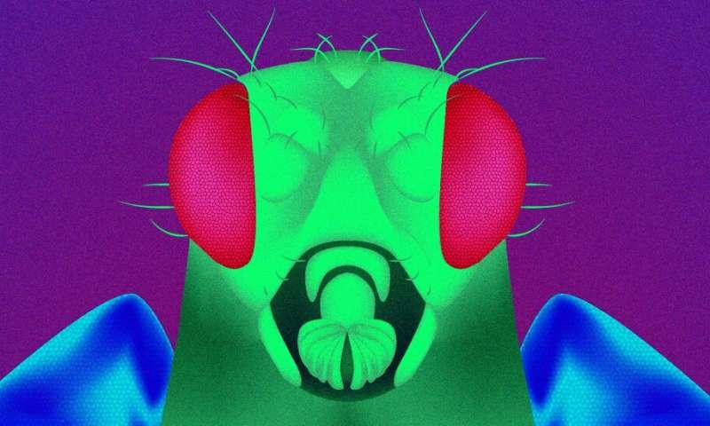 Geneticists unlock the secret of mutant flies' longevity