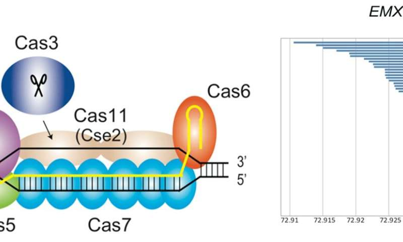 Genomic cut and paste using a class 1 CRISPR system