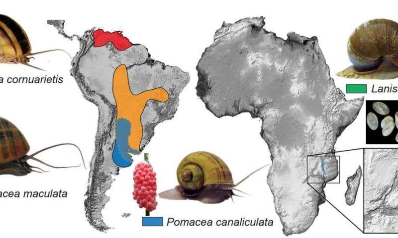 Genomic research led by HKBU unravels mystery of invasive apple snails