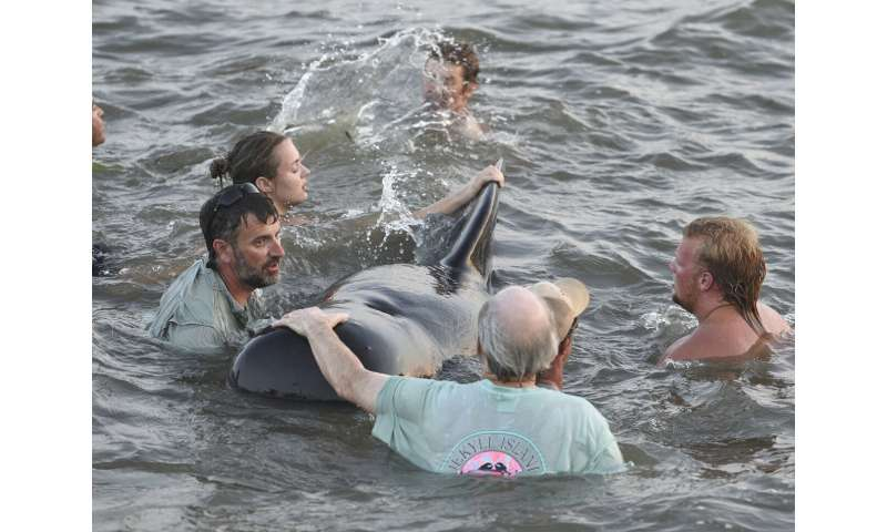 Georgia beachgoers help pilot whales from stranding on shore