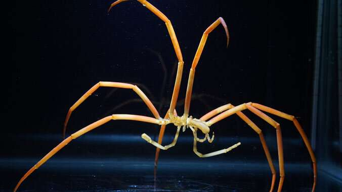 Giant Antarctic sea spiders weather warming by getting holey