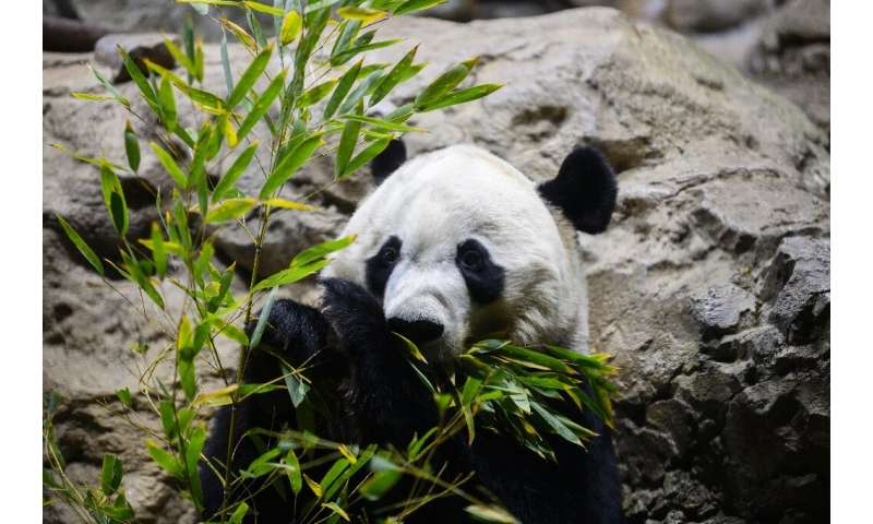 "Giant panda Bei Bei is heading back to China under the strict rules of ""panda diplomacy"""