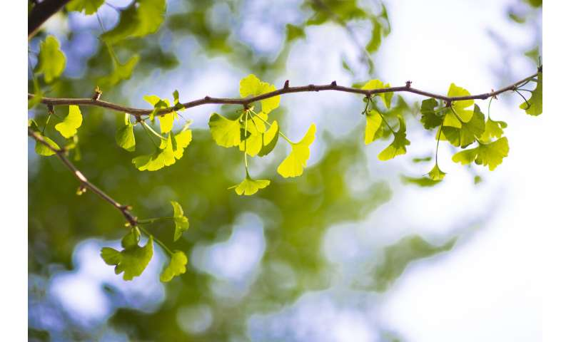 Ginkgo seed extracts show antibacterial activity on skin pathogens