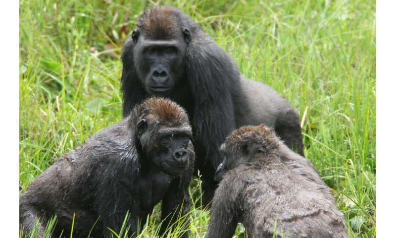 Gorillas found to live in 'complex' societies, suggesting deep roots of human social evolution