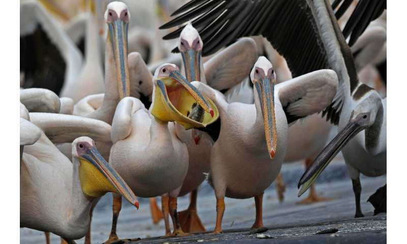 Great white pelicans eat fish provided by Israeli farmers at a water reservoir in the Emek Hefer valley north of Tel Aviv