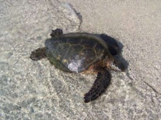 Green turtle: The success of the reintroduction program in Cayman Islands