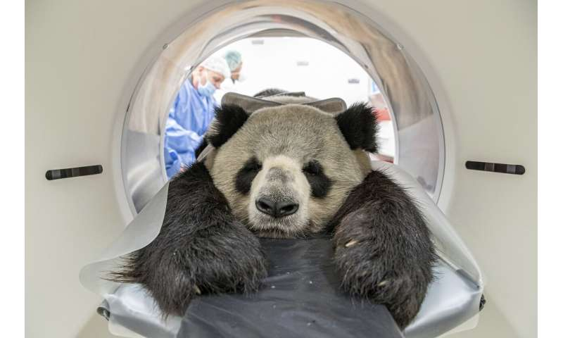 Grin and bear it: Berlin panda gets CT scan for kidney exam