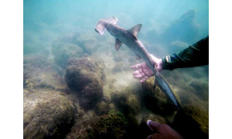 Hammerheads grow slowly and are not particularly fertile reproducers