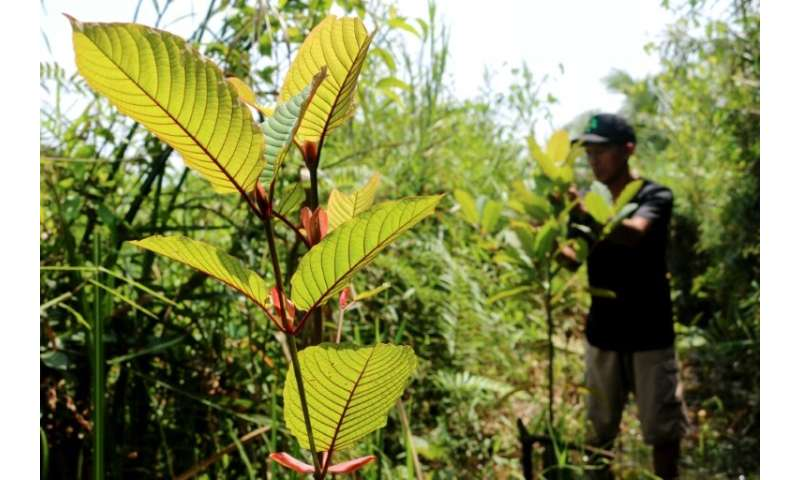Health authorities in the United States—now the kratom's top importer—have linked consumption of the plant and its derivatives t