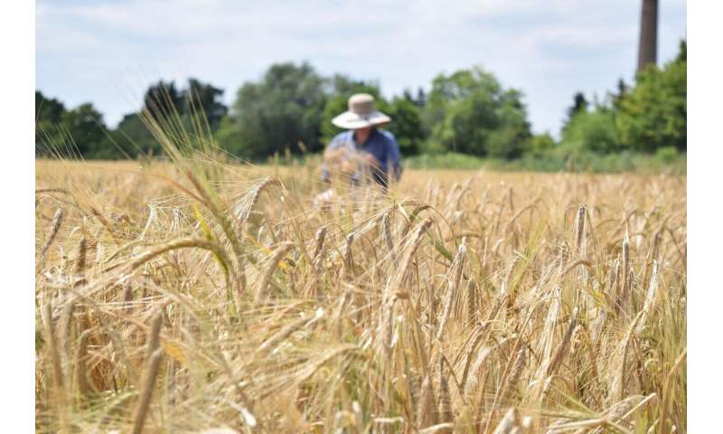 Heat, salt, drought: This barley can withstand the challenges of climate change