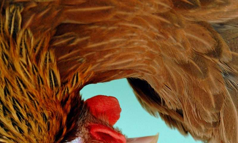 Hens that lay human proteins in eggs offer future therapy hope