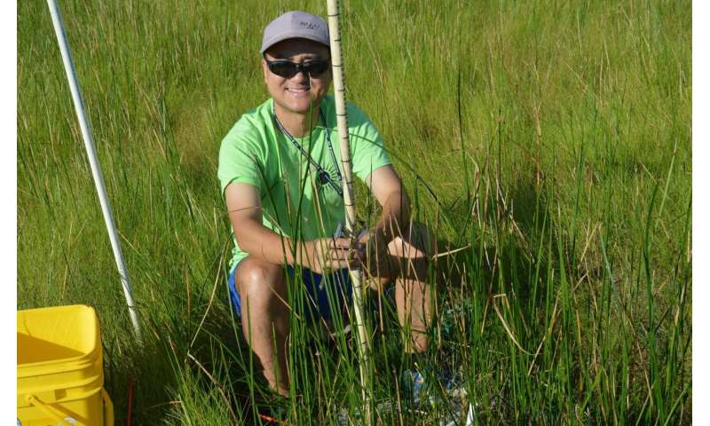 High carbon dioxide can create 'shrinking stems' in marshes