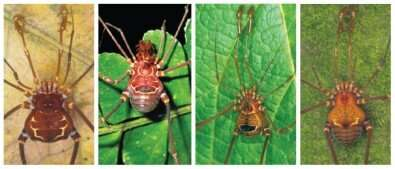 High diversity of harvestmen in Atlantic Rainforest and ancient geological events