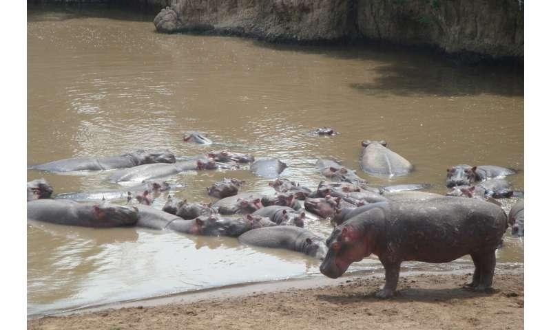 Hippos, the animal silicon pumps