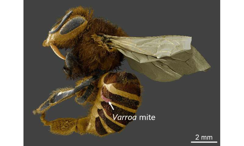 Honey bee parasites feed on fatty organs, not blood