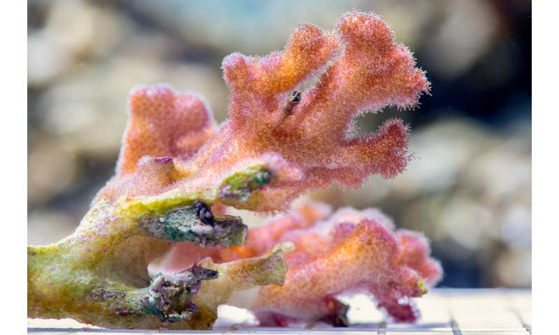 Hope for coral recovery may depend on good parenting
