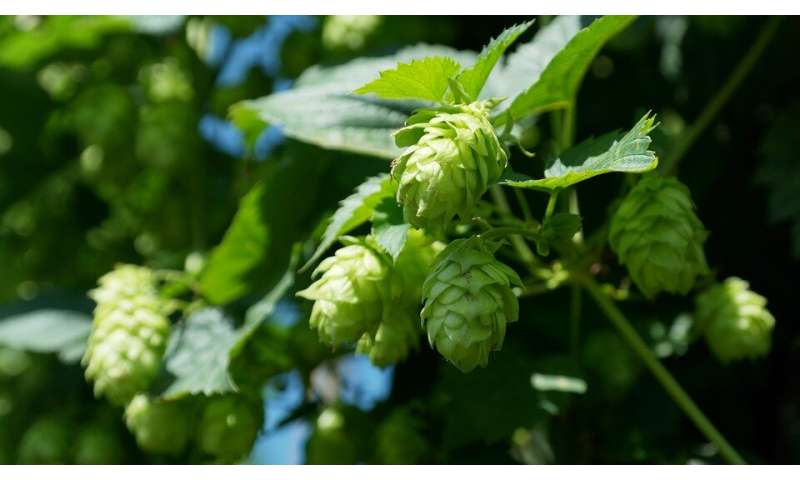 Hops compounds help with metabolic syndrome while reducing microbiome diversity