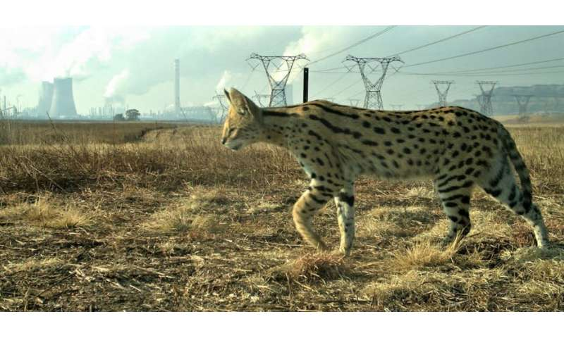 How a South African industrial site is providing a safe haven for wild cats