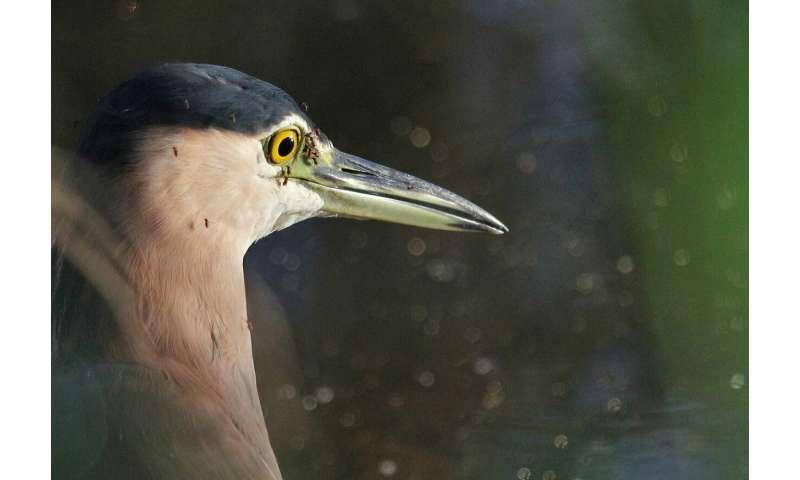 How Australian wildlife spread and suppress Ross River virus