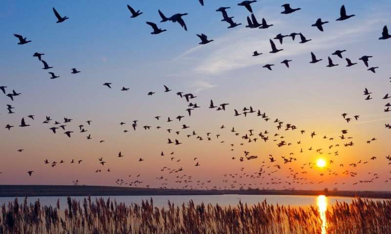 How barnacle geese adjust their migratory habits in the face of climate change