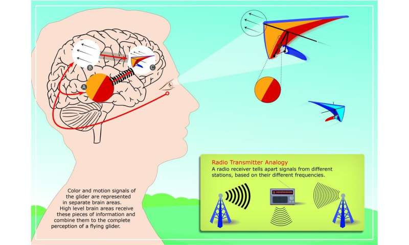 How brain rhythms organize our visual perception