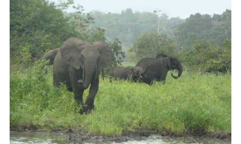 How elephant declines are affecting African forests