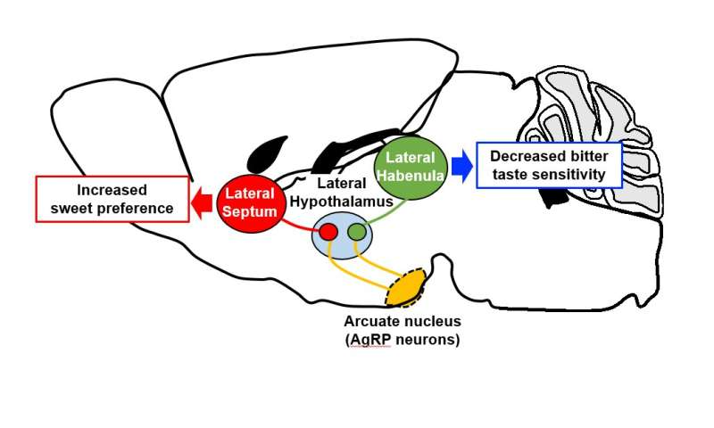 How hunger makes food tastier: a neural circuit in the hypothalamus