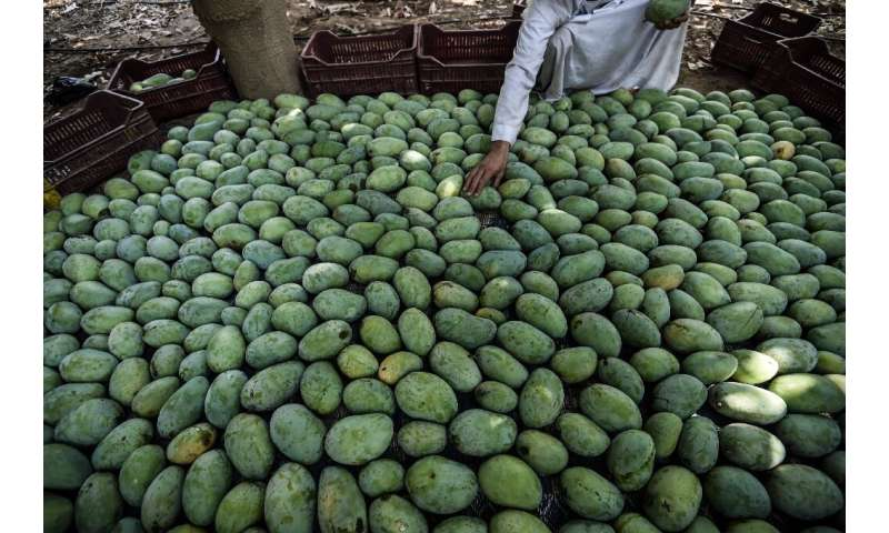 How many mangoes do you see?