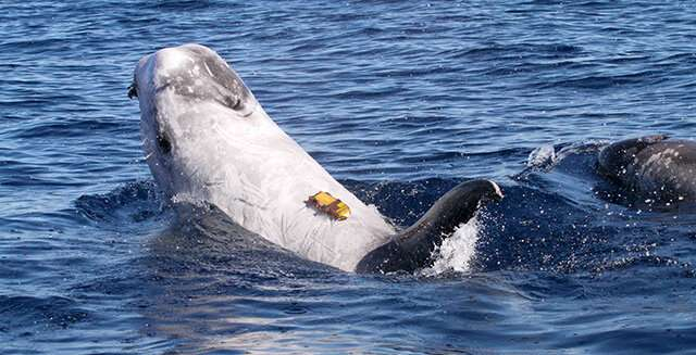 How Risso's dolphins strike a balance between holding their breath and finding food