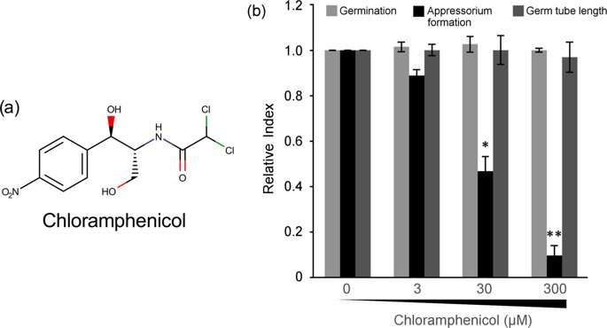 How the antibiotic chloramphenicol causes damage to eukaryotes