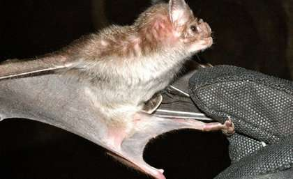 Human hazards hamper vampire bat venom research