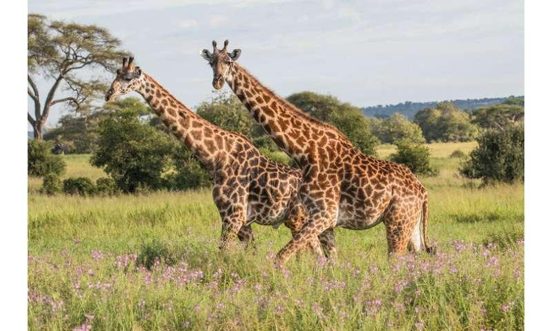 Human settlements and rainfall affect giraffe home ranges