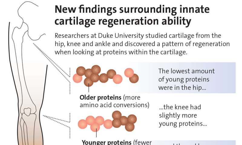 Humans have salamander-like ability to regrow cartilage in joints