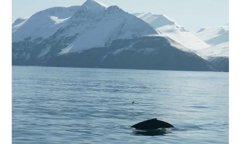 Humpback whales' songs at subarctic feeding areas are complex, progressive