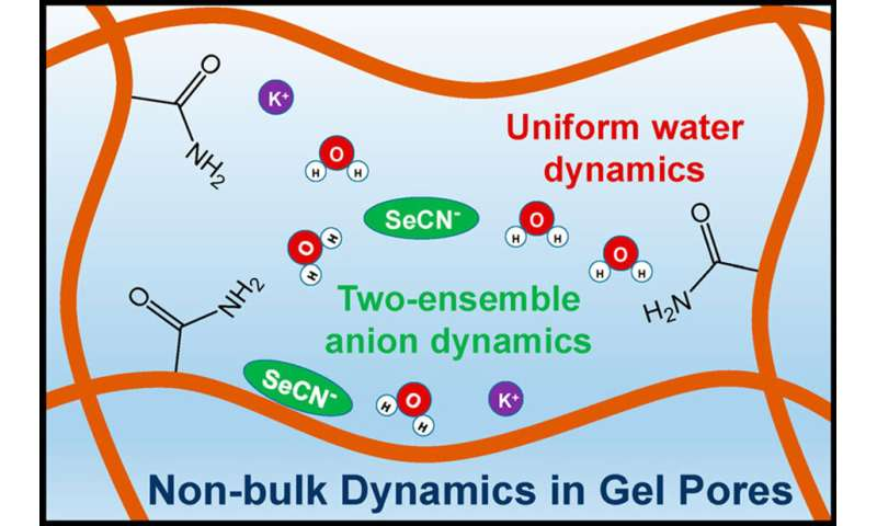 Hydrogels change water and solute dynamics