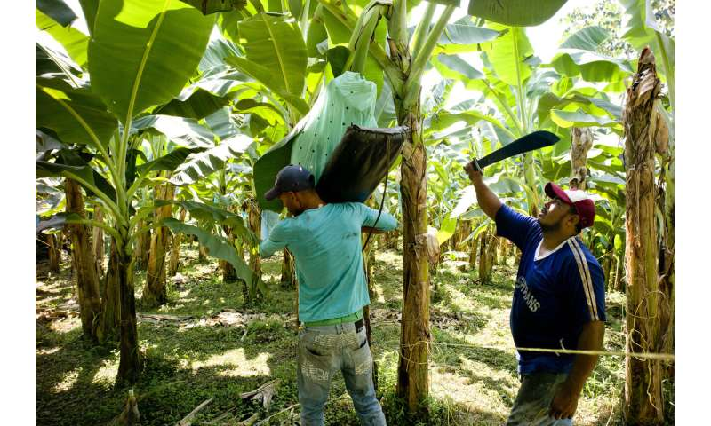 Impact of climate change on global banana yields revealed
