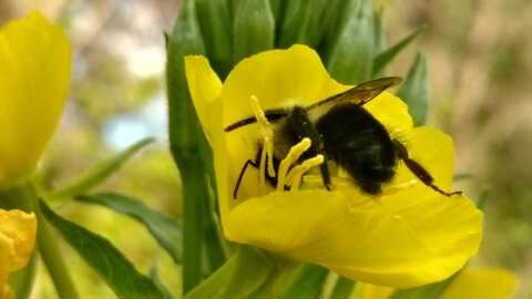 Impact of urbanization on wild bees underestimated