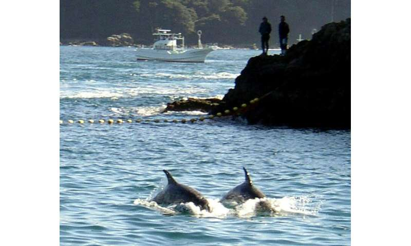 In drive hunting, fishermen force dolphins into a cove where the panicked animals get tangled in nets, suffocate and drown
