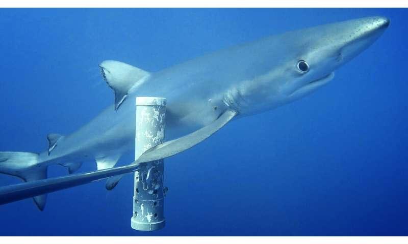 Industrial fishing behind plummeting shark numbers