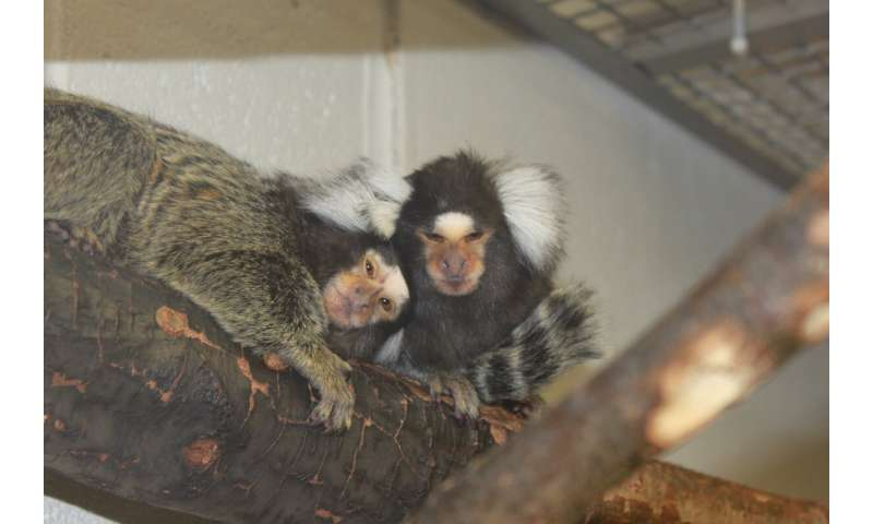 Inflamed monkey guts produce Parkinson's-related proteins