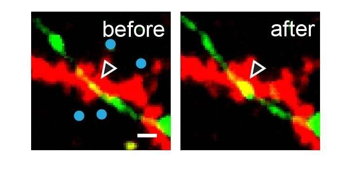 Inhibitory synapses grow as 'traffic controller' at busy neural intersections
