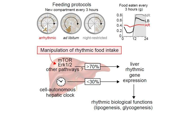 In mice, feeding time influences the liver's biological clock
