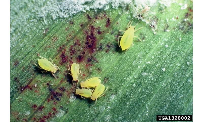 Insect-deterring sorghum compounds may be eco-friendly pesticide