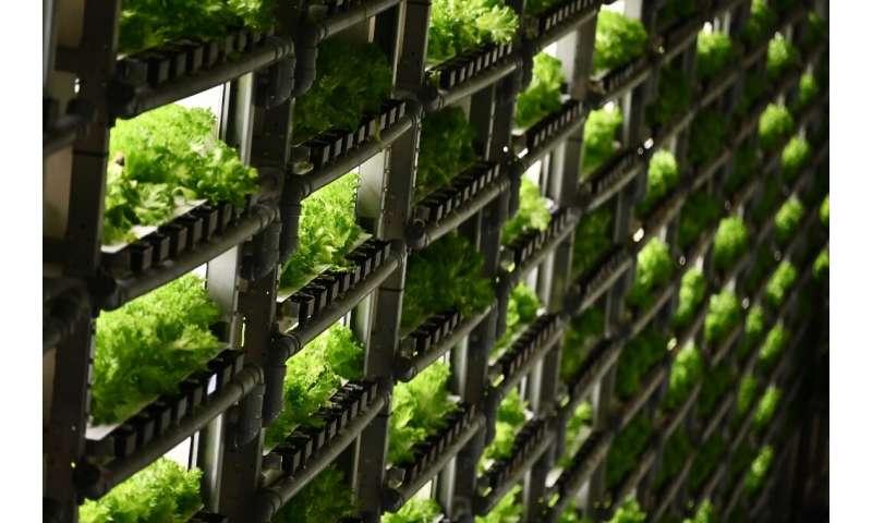 En algunas instalaciones en Japón, las verduras se cultivan apiladas en estantes de varios metros de altura.
