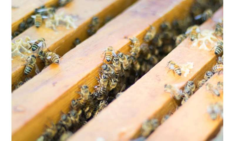 'Intensive' beekeeping not to blame for common bee diseases