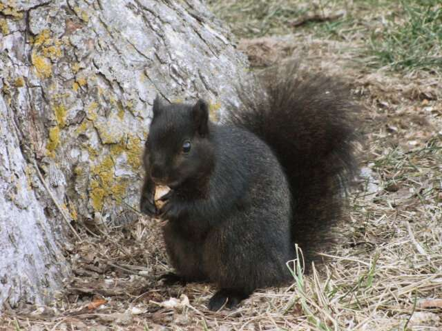 Interbreeding turned grey squirrels black -- study
