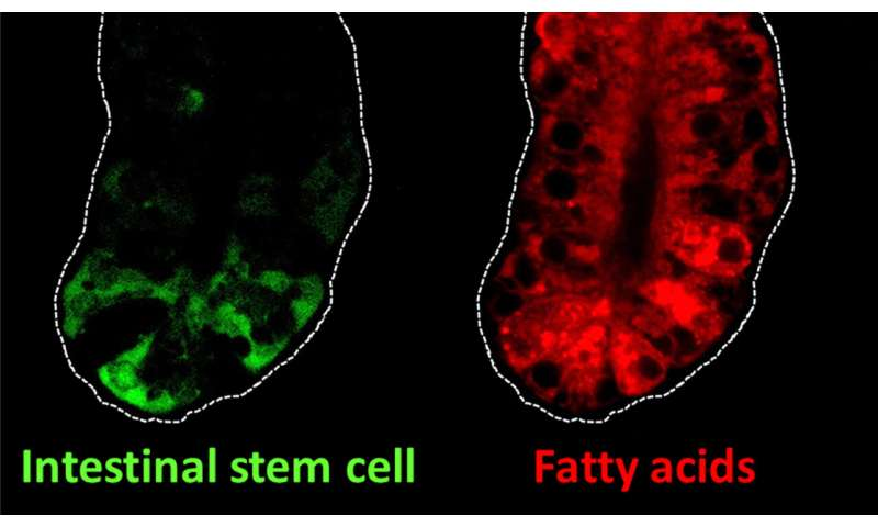 Intestinal stem cell genes may link dietary fat and colon cancer