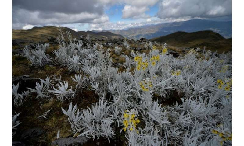 In the Andes, the paramo ecosystem—at an altitude of about 4,000 meters (13,120 feet)—is a tropical mountainous area with hardy