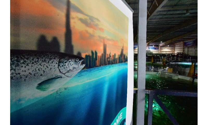 In the Dubai desert, Atlantic conditions are recreated to raise thousands of salmon in tanks